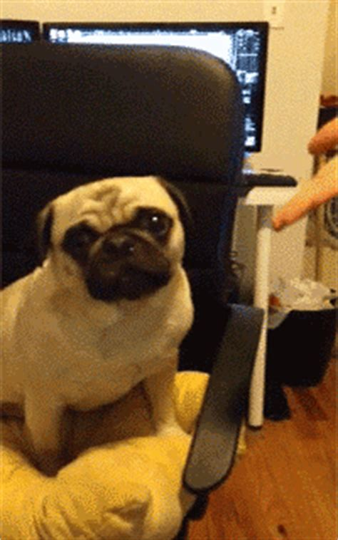 pug animated gif pictures  animations