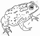 Coloring Toad Cane Frog Designlooter Drawings sketch template