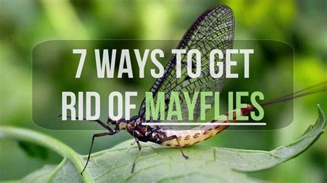7 Ways To Get Rid Of Mayflies Youtube