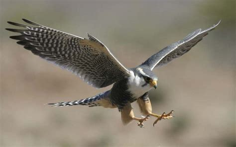 falcon cuisine the peregrine speakzeasy