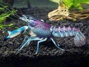 Thunderbolt Crayfish - Aquatic Arts