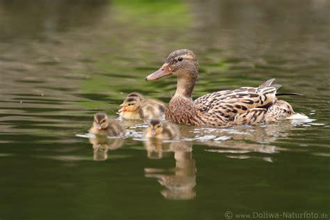 entenfamilie voegelmuttersuesse kueken naturbild auf wasser