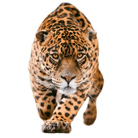 jaguar closer transparent png stickpng
