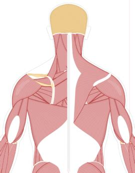 Web based anatomy tutorials by dr donal shanahan from the university of newcastle upon tyne. Muscular System - Human Anatomy • GetBodySmart