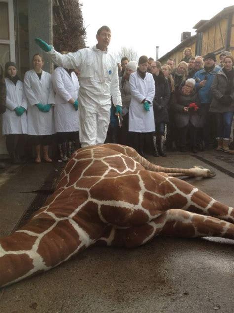 marius  giraffe killed  copenhagen zoo