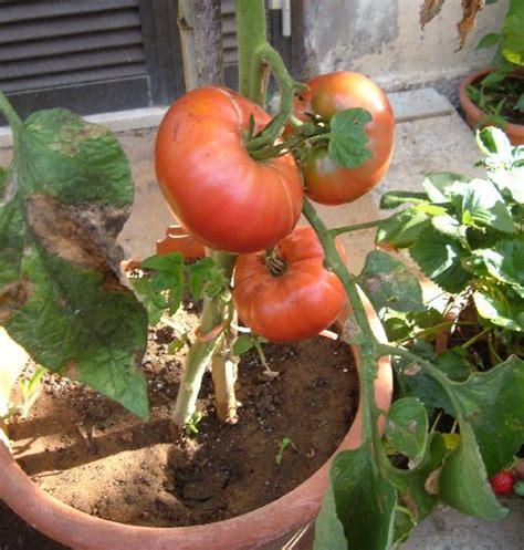 vasi in coccio il pomodoro brandwine coltivato in vaso l orto sul balcone