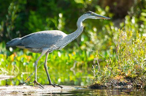le bureau heron parc faune et flore de la mauricie tourisme mauricie