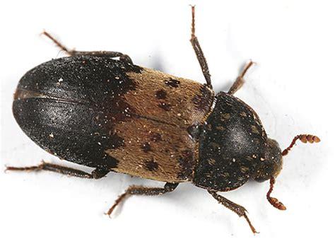 Pantry Beetles, Grain Weevils, Spider Beetles, Meal Worms