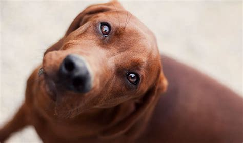 Do Redbone Coonhounds Shed by Redbone Coonhound Breed Information
