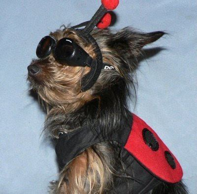 Miniature Yorkshire Terrier More Halloween Dog Costumes