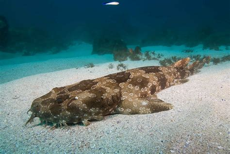 Wobbegong Shark | Blue Bay Divers - Byron Bay - Australia
