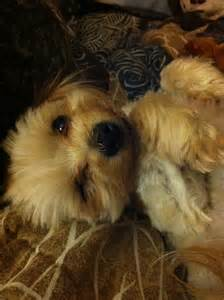Morkie Puppies and Adults