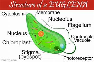 A Brief Understanding Of Euglena Movement