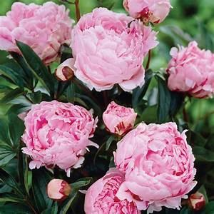Van Zyverden Peonies Sarah Bernhardt Roots (5-Pack)-11386