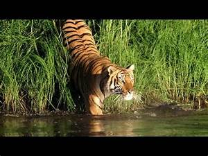 Sundarban In India Royal Bengal Tiger - Download HD Torrent