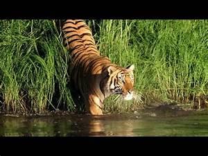 Sundarban In India Royal Bengal Tiger - Download HD Torrent