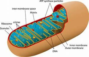 What Is Mitochondrial Disease   U2013 Umdf