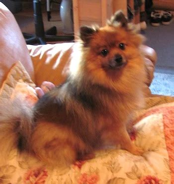 pomeranian history personality appearance health and