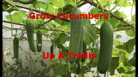 How To Train Cucumbers Up A Trellis Youtube