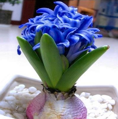 easy plants to grow from seed indoors hyacinth seeds hyacinthus orientalis indoor green plants flower plants easy to grow 50pcs
