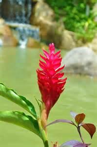 Ginger Plant Flower