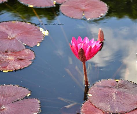 how water lilies grow how to grow water lilies or aquatic plants nymphaeaceae