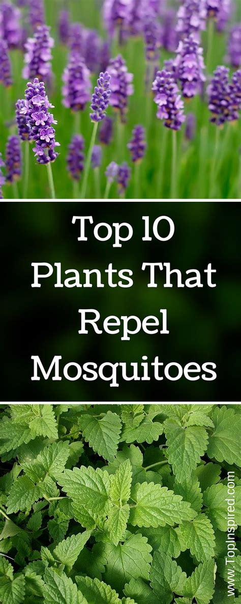 plants that mosquitoes mosquitoes plants that repel mosquitoes and repel mosquitos on pinterest