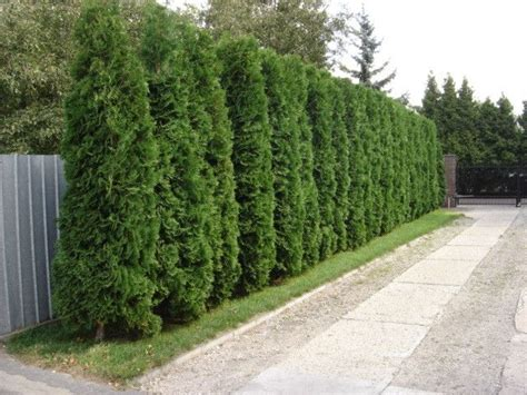 fast growing privacy hedge thuja smaragd  white cedar