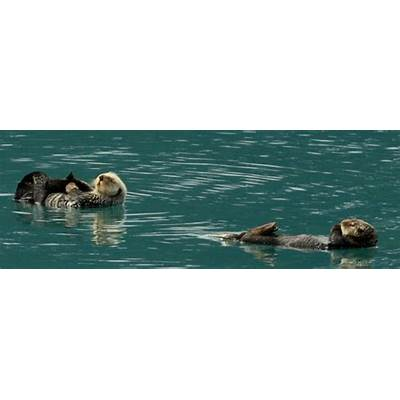 25 Years after Exxon Valdez Spill Sea Otters Recovered in