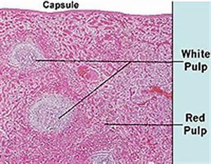 Histology A464