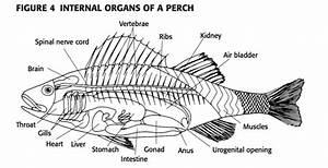 Yellow Perch Diagram