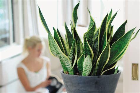pflanzen die giftstoffe aus der luft filtern pflanzen die giftstoffe aus der luft filtern pflanzen fr gute raumluft pflanzen in einem halter