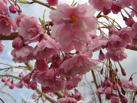 pink flowering cherry tree flowering trees johnston s evergreen nursery
