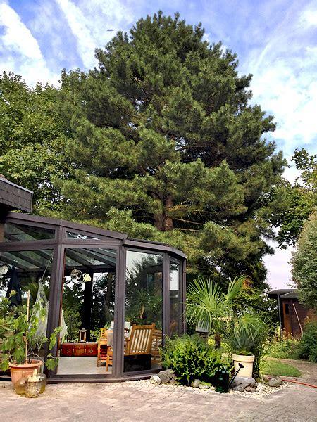 Kiefern Im Garten by Schwarz Kiefer Pinus Nigra