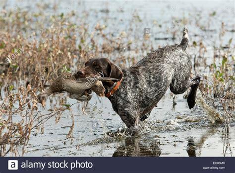 duck hunt dog stock  duck hunt dog stock images