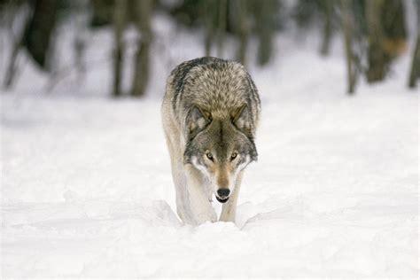 hd gray wolf hd wallpaper