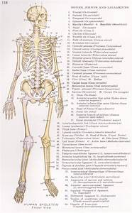 Detailed Human Skeleton Diagram