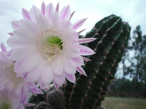 cactus flower part  weneedfun