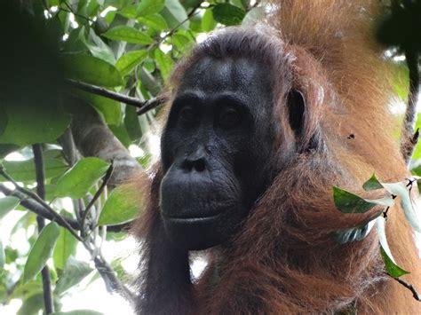 indonesia female orangutan  killing