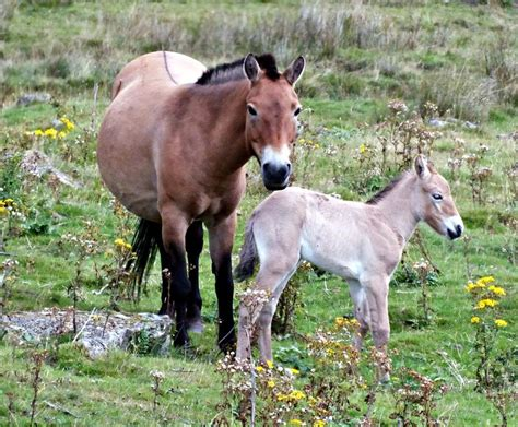 horse wildlife park highland zoo endangered przewalski animals born baby horses wild zooborns species herd joins scotland keepers extinct seen