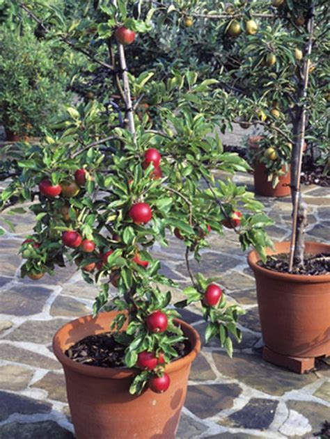 Container Gardening 9 Fruit Plants For Pots  Fruit Trees