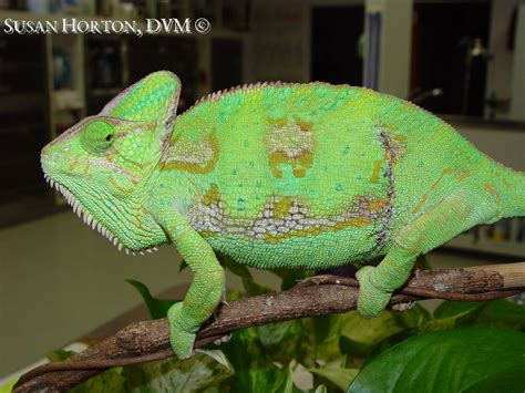 chameleon care veiled chameleon care chicago exotics animal hospital
