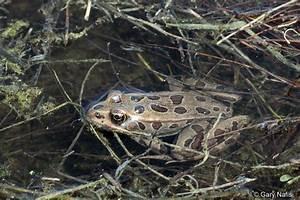 Lithobates pipiens - Northern Leopard Frog