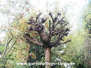 Wann Müssen Apfelbäume Geschnitten Werden : wann soll man kugel ahorn b ume schneiden ~ Lizthompson.info Haus und Dekorationen