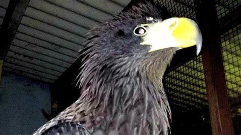 gambar burung garuda  asli