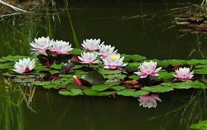 Water Lotus Lilies Pond Wallpapers Wallpapersafari