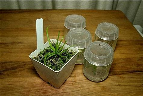 CP Tissue Culture in the Kitchen
