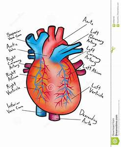 Drawing Of The Human Heart Diagram Illustration Stock