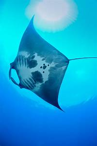 Nursery For Giant Manta Rays Discovered In Gulf Of Mexico
