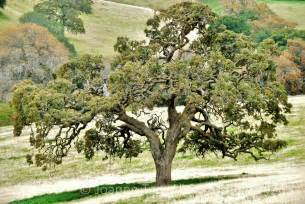 trees wilderness oak tree 1 northern california poem and studio